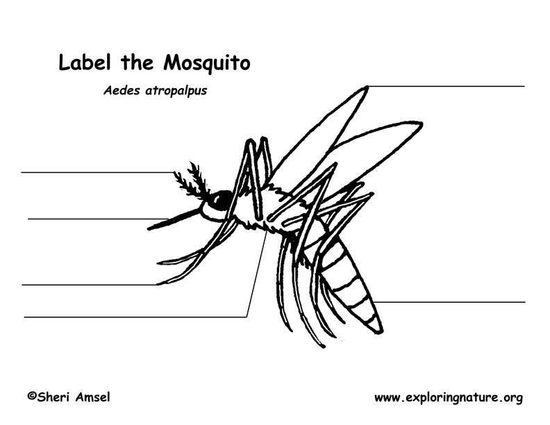 Mosquito Diagram