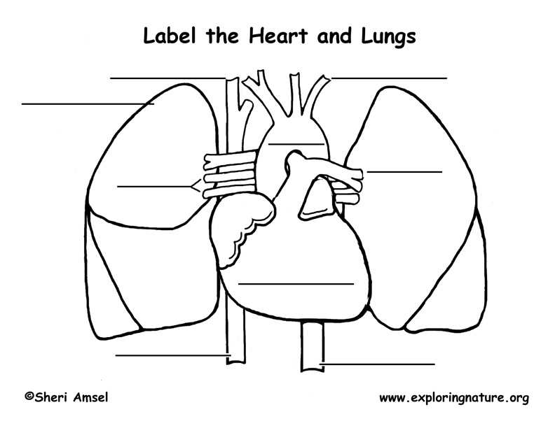 diagram of the lungs and heart