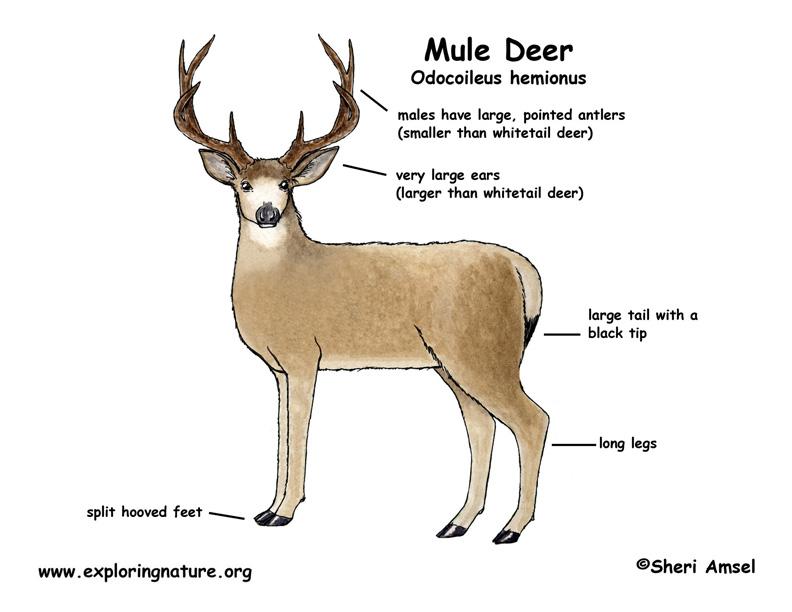 Reindeer Body Part Diagram - Tools \u2022