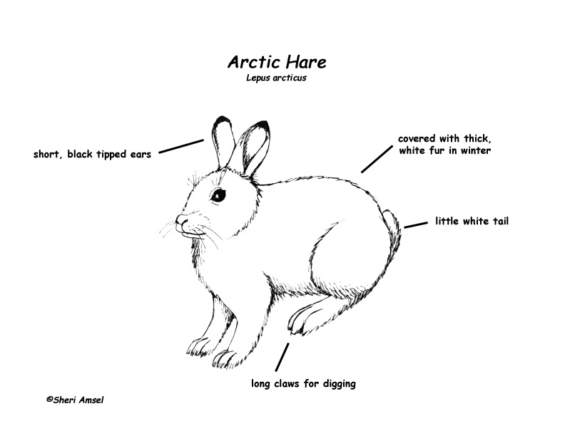 arctic fox diagram
