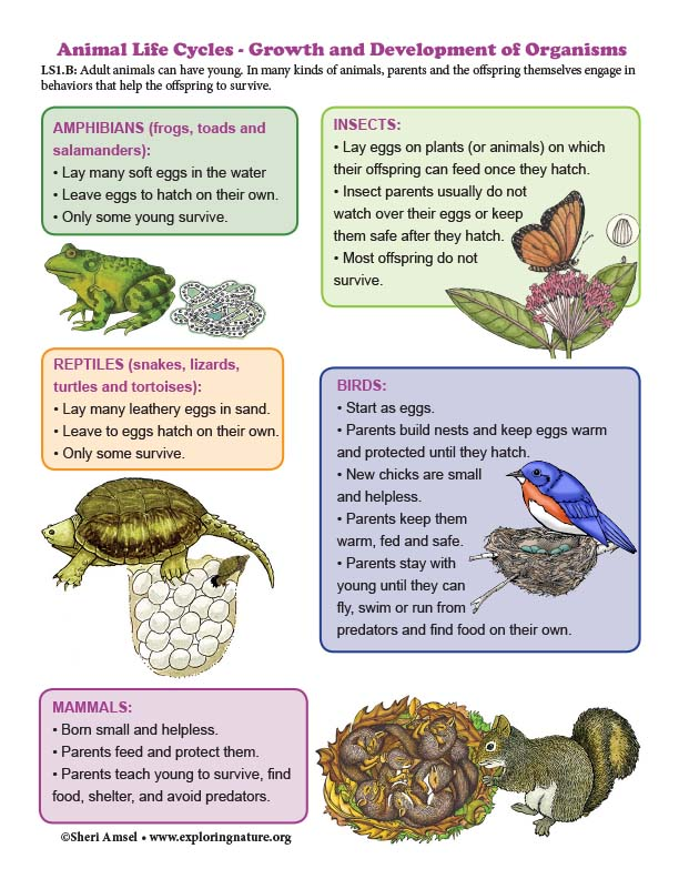 Animal Life Cycles - Growth and Development of Organisms - Diagram (K-2)
