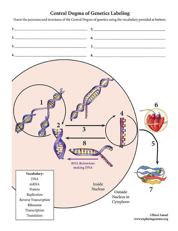 Central Dogma of Genetics - Diagram Labeling