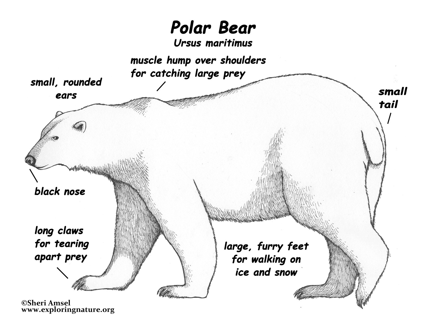 diagram bear 4