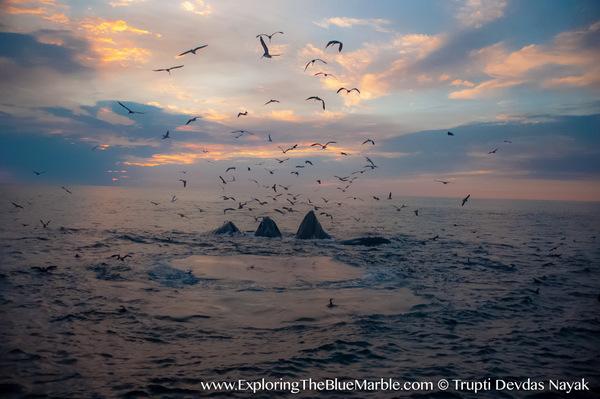 essay blue whale