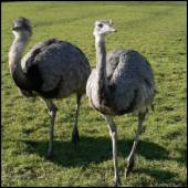 Ostrich, Wainstalls by James Preston [CC-BY-SA-2.0 (http://creativecommons.org/licenses/by-sa/2.0)], via Flickr https://www.flickr.com/photos/jamespreston/8485895143[cropped]