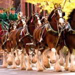 Budweiser Clydesdales To Parade Through Annapolis
