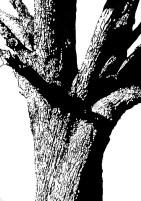 Obstbaum auf einer Streuobstwiese 100 x 70 cm - Tusche auf Fotokarton 2016