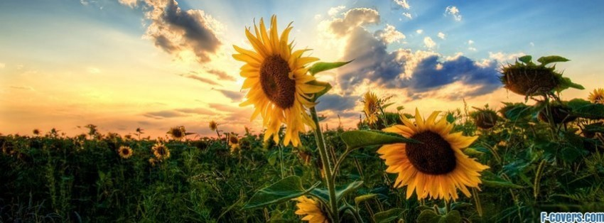 Cute Summer Wallpapers 800x200 Sunflower Facebook Cover Timeline Photo Banner For Fb