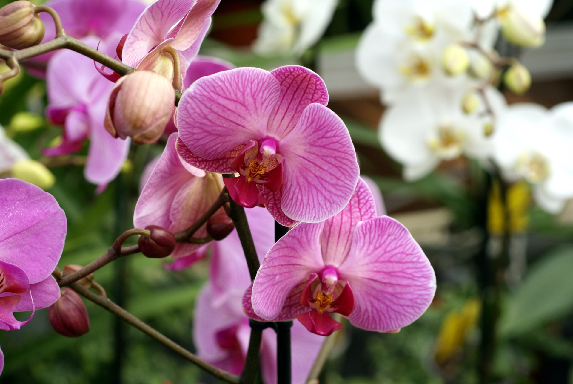 Orchid Iphone Wallpaper Pink Orchids Doritaenopsis Sweet