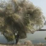 Arbori invadati de paianjeni