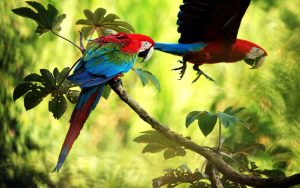 a couple of macaws in the peruvian amazon rainforest