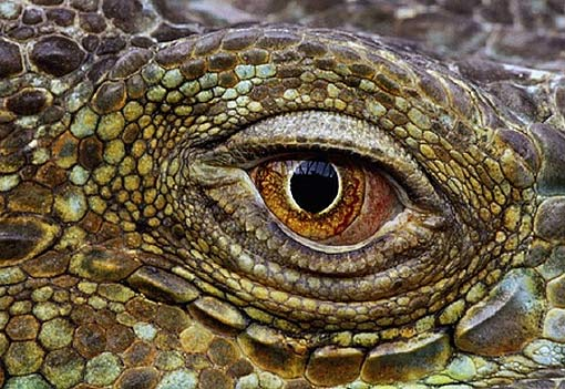 3d Dragon Eye Wallpaper Reptiles Animal Pictures And Facts Factzoo Com