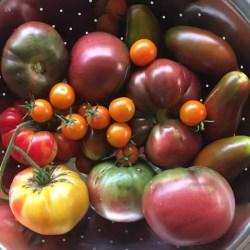 Small Crop Of Black Vernissage Tomato