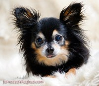 Cute Chihuahua Puppies and Chihuahua Dog Clothes | Famous ...