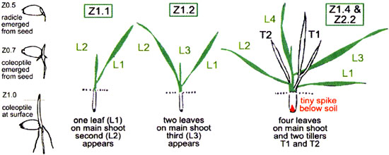 Section 2 Describing the growth of your crop as stages During