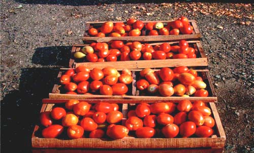 CHAPTER 2 BASIC HARVEST AND POST-HARVEST HANDLING CONSIDERATIONS