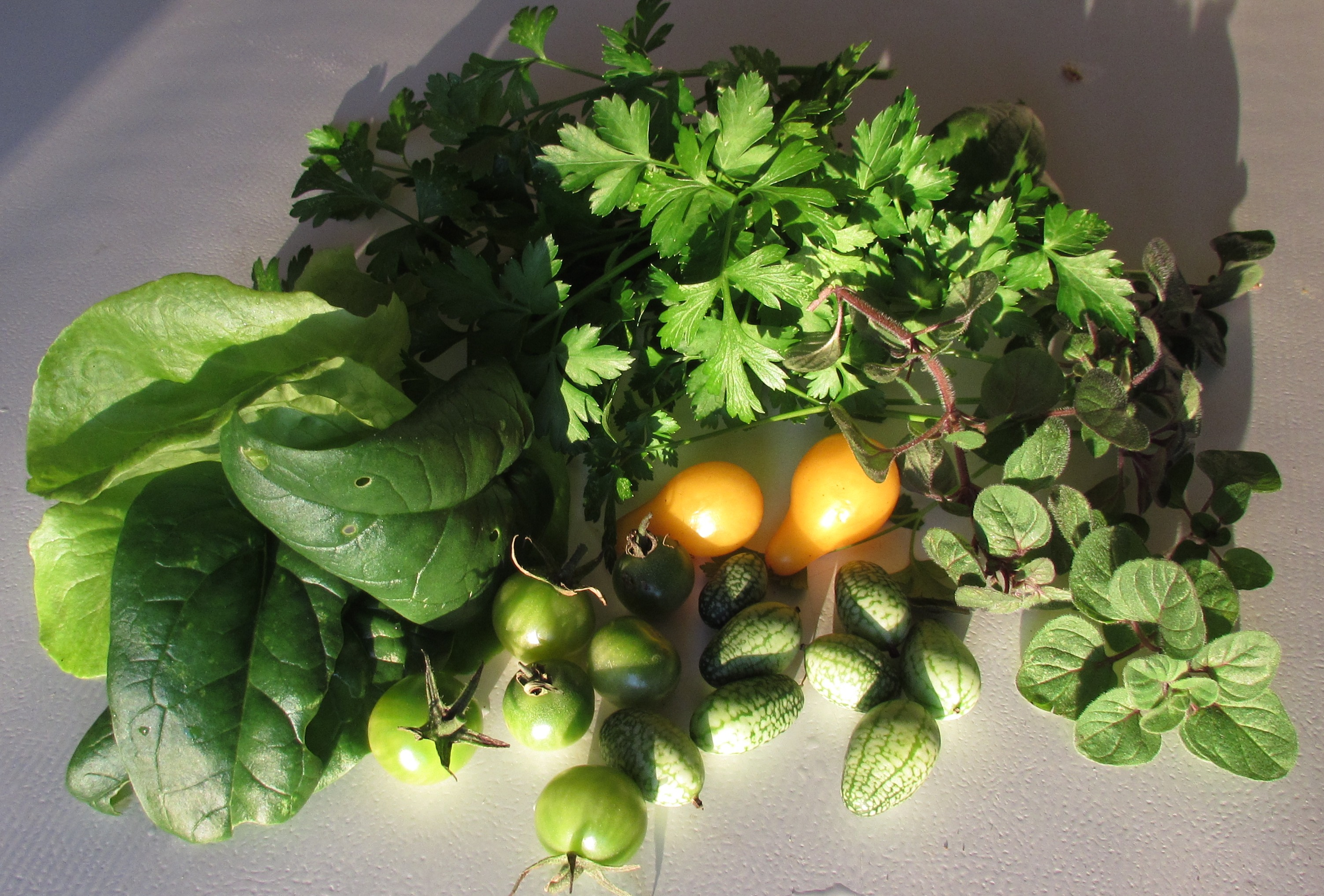 Flagrant Leftovers Farming Philly How To Pick Parsley Leaves From Plant How To Harvest Parsley Without Killing Plant Sourmexican Gherkins December Harvest December Cherry Tomatoes houzz-02 How To Harvest Parsley
