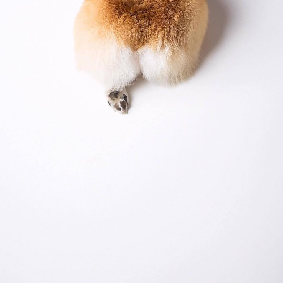 Cute Autumn Wallpaper 主人幫牠的柯基犬拍攝了一系列超萌「屁屁寫真」,瞬間爆紅席捲20萬粉絲! 時尚華爾滋