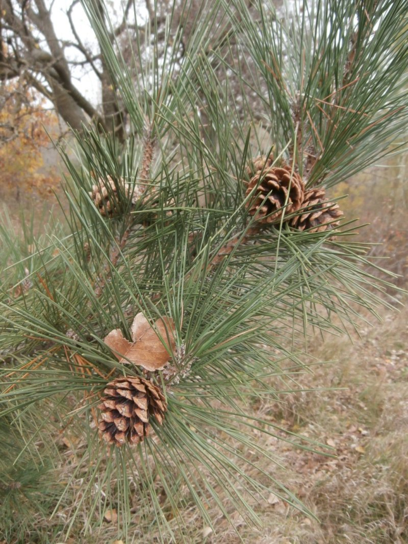 Large Of Pine Tree Seeds