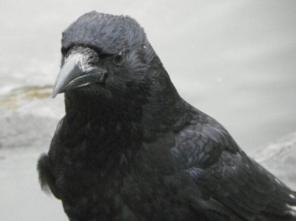 Carrion_Crow_aka_Corvus_corone