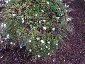 Jardim sustentável  gota-de-orvalho (Evolvolus pusilus)