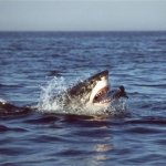 Is El Niño Behind California Great White Shark Sightings?