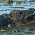 Crocodile Devours Bull Shark At Kakadu