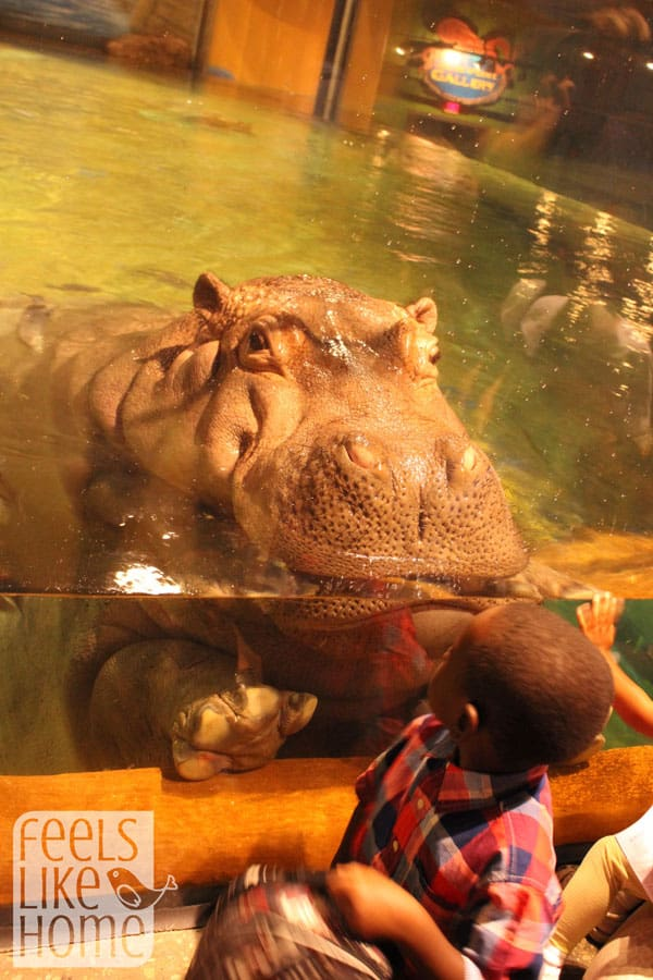 Adventure Aquarium review  - hippo head
