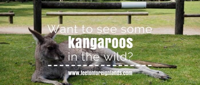 see kangaroos in Melbourne: www.feetonforeignlands.com