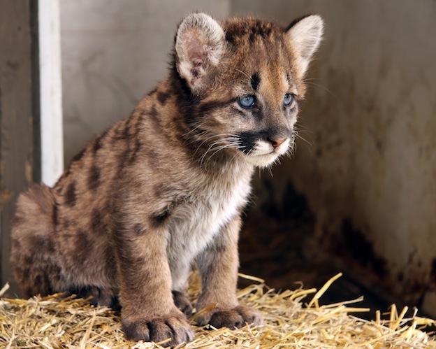 Jaguar Animal Wallpaper Cougar Reproduction Feline Facts And Information