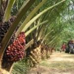 Libreville, capitale du palmier à huile en octobre