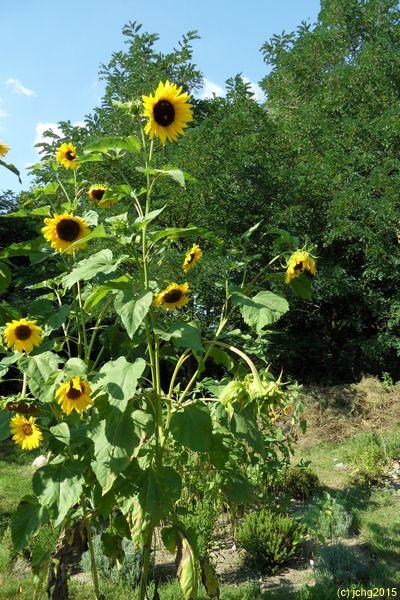 Viele Sonnenblumenblüten