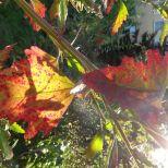 Noch einmal Baumspinatblätter herbstlich gefärbt