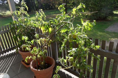 Die Tomatenpflanzen auf der Terrasse am Herbstanfang