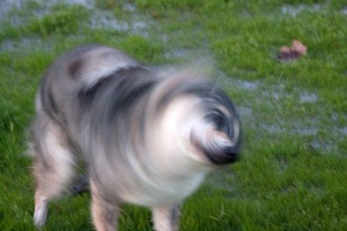 Medium Of Dog Keeps Shaking Head