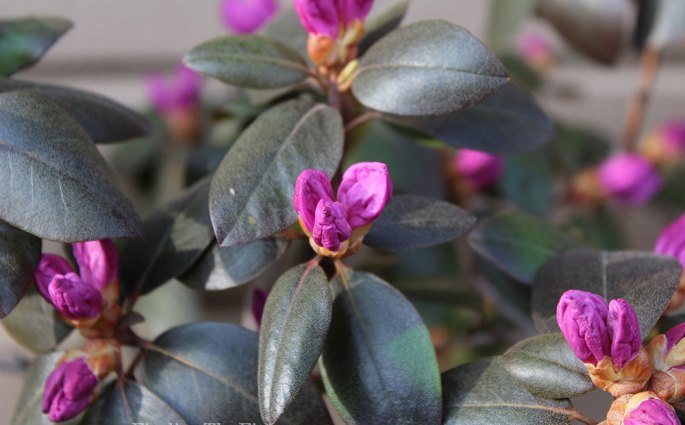 Rhododendron about to bloom