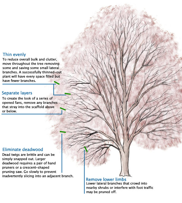 Learn to Prune Japanese Maples
