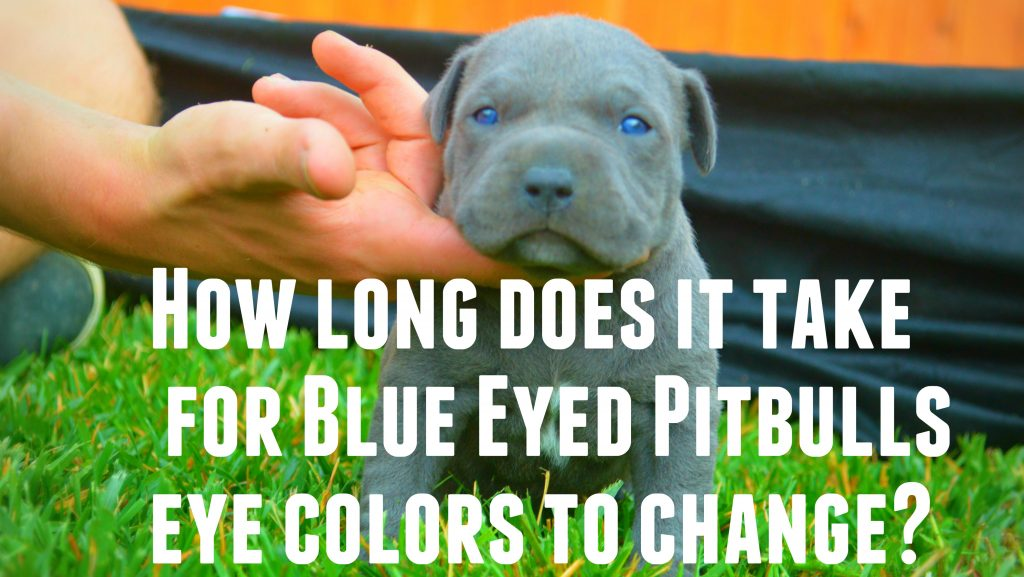 Do Pitbull Puppies With Blue Eyes Really Exist? -