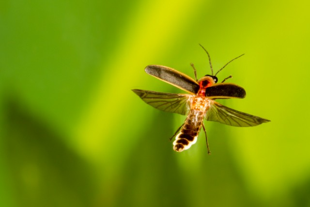 Fireflyorg Firefly  Lightning Bug Facts, Pictures, Information