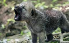 Toscana, salvare il lupo: 21 mila firme a Rossi