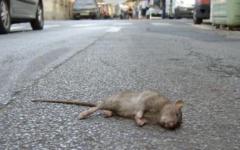 Topo morto trovato in un asilo nido a Pisa