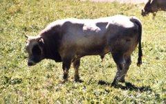 Arezzo, lavora nella stalla e viene travolto da un toro
