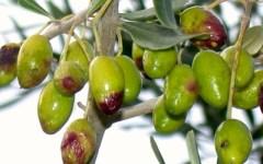 Toscana, olio devastato dalla mosca: la Regione chiede a Renzi una legge speciale. Reggello rinvia la festa al 2015
