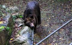 Arezzo: al Parco di Cavriglia mobilitazione per Bruno, il vecchio orso «comunista»