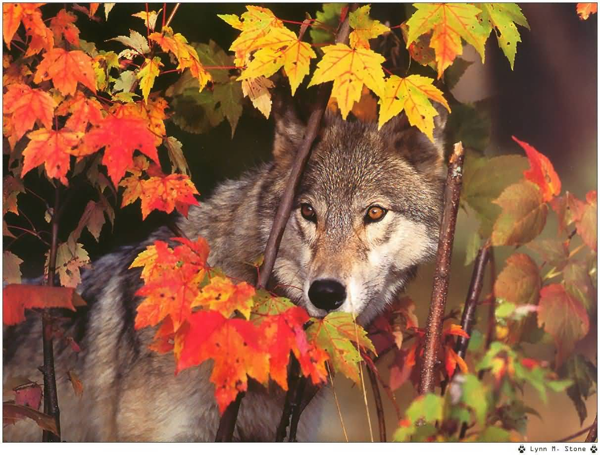 Fall With Water Wallpaper Wolf Pictures Lynn M Stone Wolf In Autumn