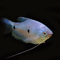 tropical fish types names - Tropical Fish Types with Pictures