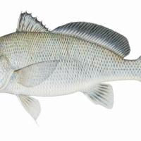 freshwater fish of texas - freshwater fishes of texas