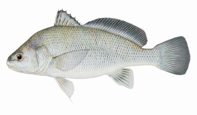 Fishes of Texas   Aplodinotus grunniens