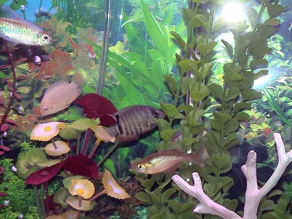 gallon bowfront freshwater aquarium freshwater community tank pictures
