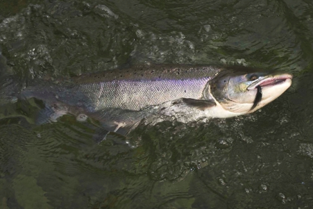 Atlantic salmon on big collie dog fly